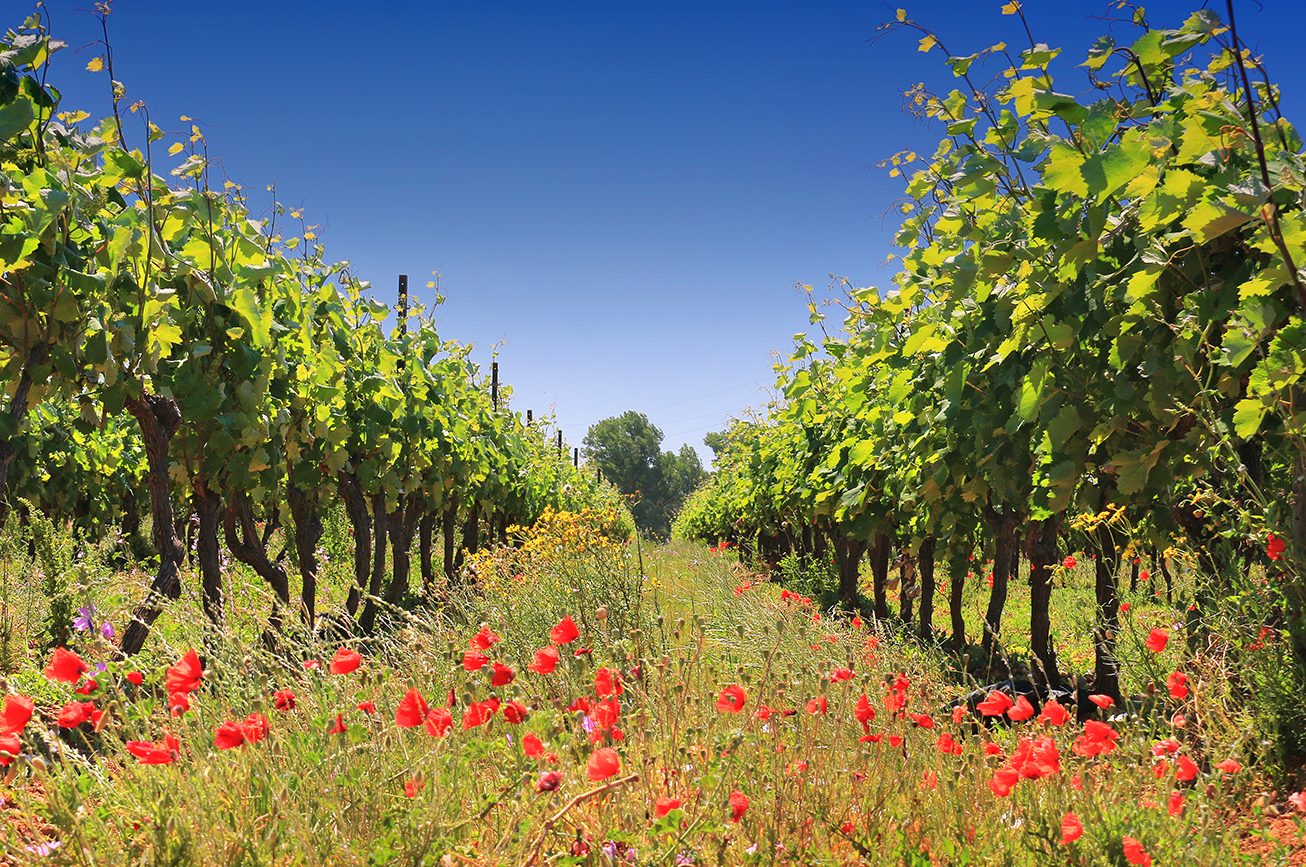 coquelicots dans les vignes de Fontarèche dans les Corbières
