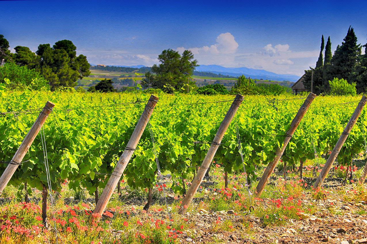 Vignes des vins Corbières du Château Fontarèche